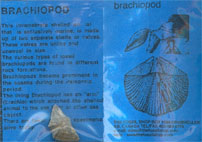 BRACHIOPOD