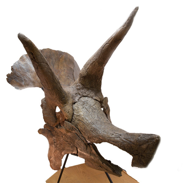triceratops-skull-the-fossil-shop_2