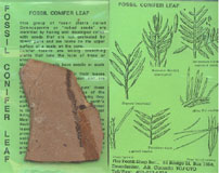 FOSSIL CONIFER LEAF